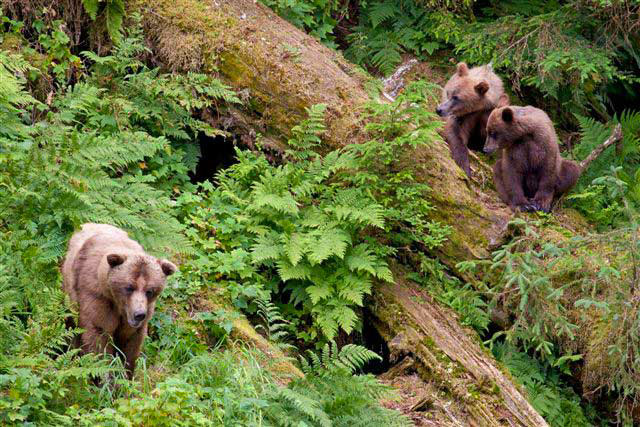 Ketchikan brown bear tours