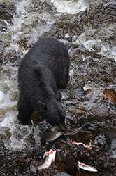 Ketchikan bear viewing tours