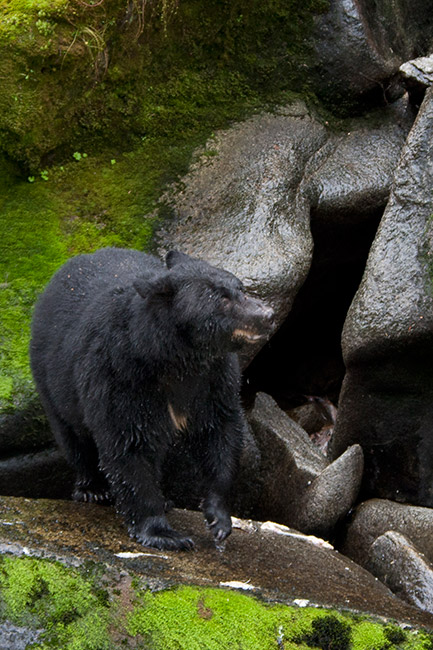 A black bear views the water from on the rocks to spot fish. Photo by Gene Covey.