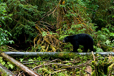 Ketchikan bear watching