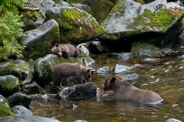 Ketchikan brown bear viewing