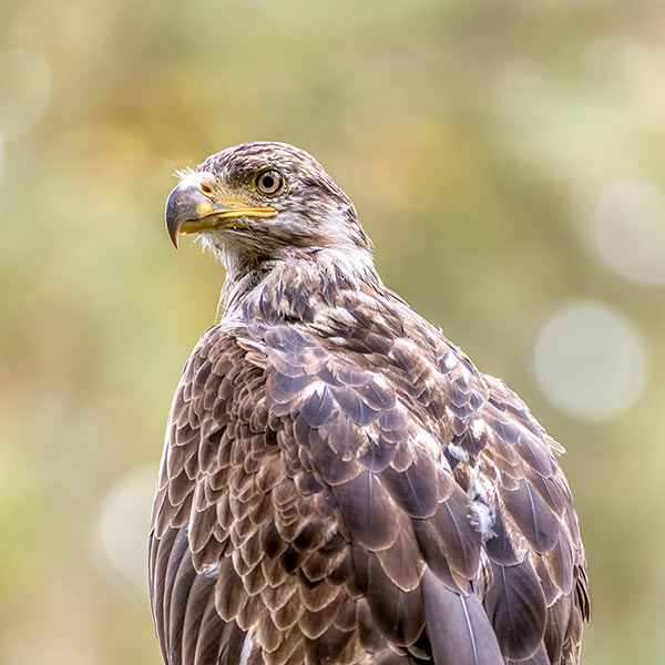 A young eagle watching for left-overs. Photo by Paul Lebby.